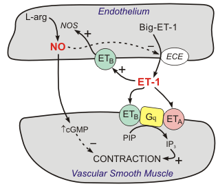 Endothelin-1 formation, receptors and mechanisms of action in blood vessels